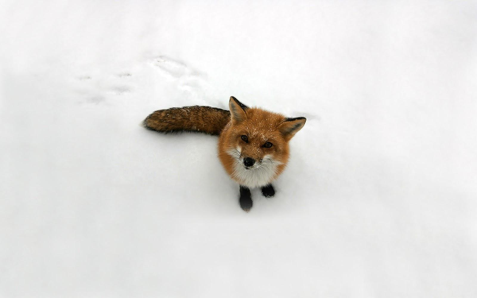 [img width=5024 height=340]http://2.bp.blogspot.com/-NeqqOvdh8sY/UHcpoJvhpNI/AAAAAAAAGZ8/_NukA5od1m4/s1600/dieren-wallpaper-met-een-rode-vos-in-de-sneeuw.jpg[/img]