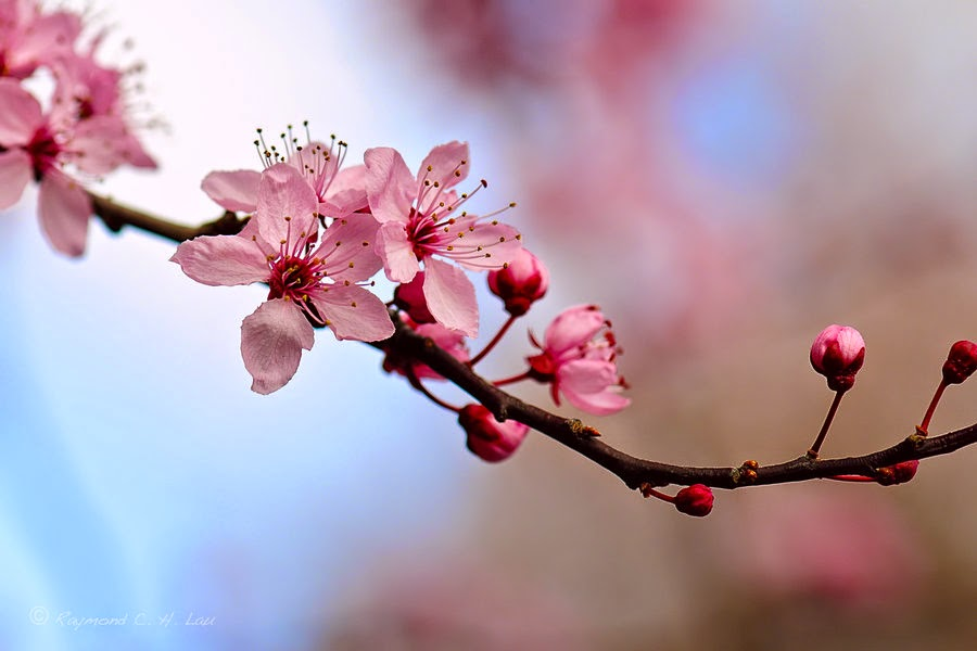 14 Free Beautiful Cherry Blossom Wallpapers