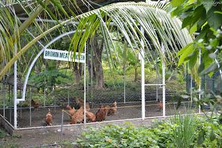 brown meat chicken of Garin farm