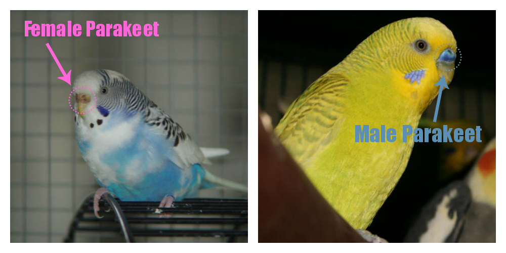 Birds Online - General facts about budgies - How to find