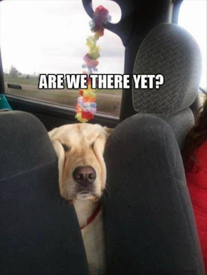 Dog squishes his face between the car seats and asks, are we there yet?