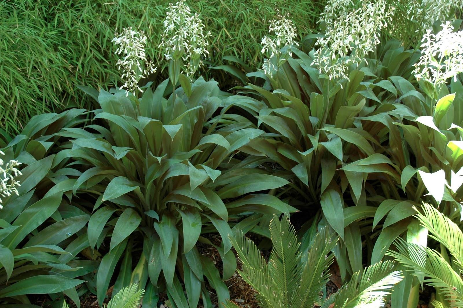 PLANT OF THE MONTH - ARTHROPODIUM CIRRATUM | JENNY SMITH GARDENS
