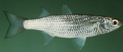 Tips Jitu Teknik Memancing,cara mancing ikan belanak di muara, cara memancing ikan belanak, cara membuat umpan ikan belanak,youtube,di sungai,model,