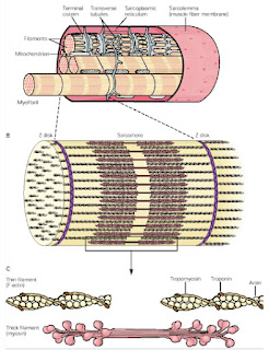 miofilamenti mišice