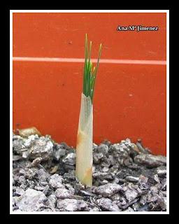 Cultivo de azafr n picaronablog - Como cultivar azafran ...