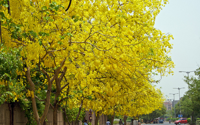 Happiness all around us flowering trees in india many fabaceae are a source of potent entheogens and other psychoactivecompounds eg tryptamines such plants are rarely found among the caesalpinioideae mightylinksfo