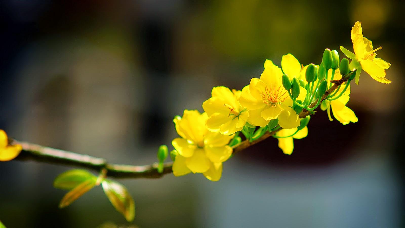 Hoa mai ngày tết bính thân 2016