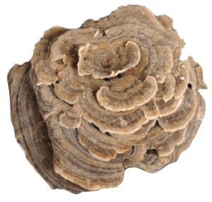 Maitake mushroom is a type of medical mushrooms.