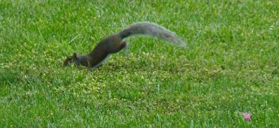 squirrel running off