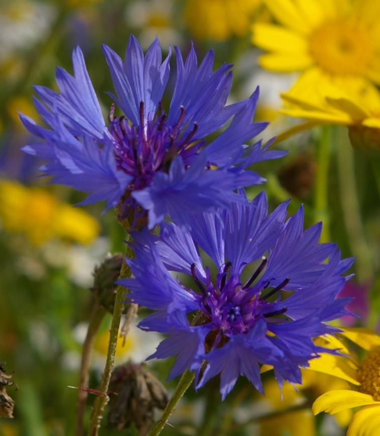 10 Évelő virág a magból