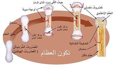 نمو العظام