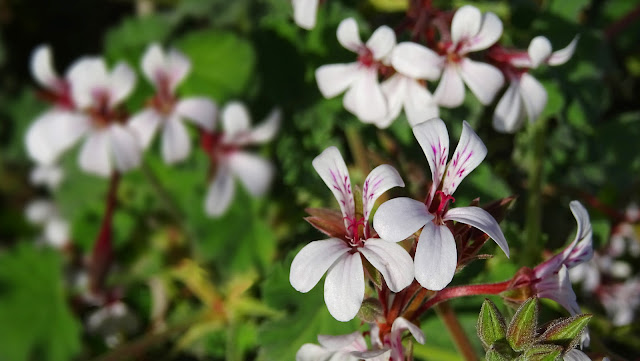 Nutmeg-Scented Pelargonium Photo