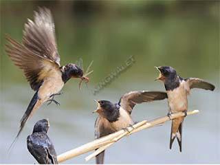 ciri burung walet