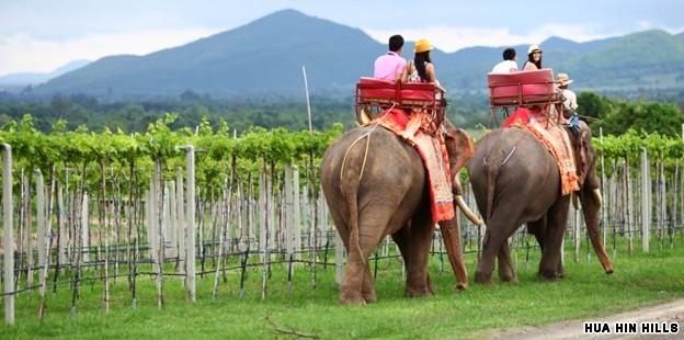 Vineyards in Thailand