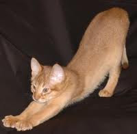 ruddy abyssinian cat - Tawny - Usual