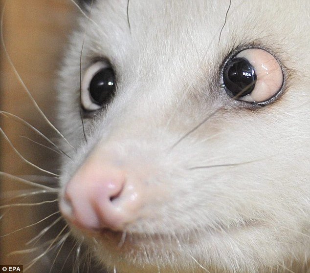 Cross eyed opossum
