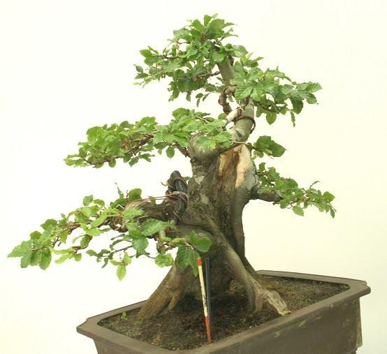 Bonsai ayuda para este mes - Bonsai de haya ...
