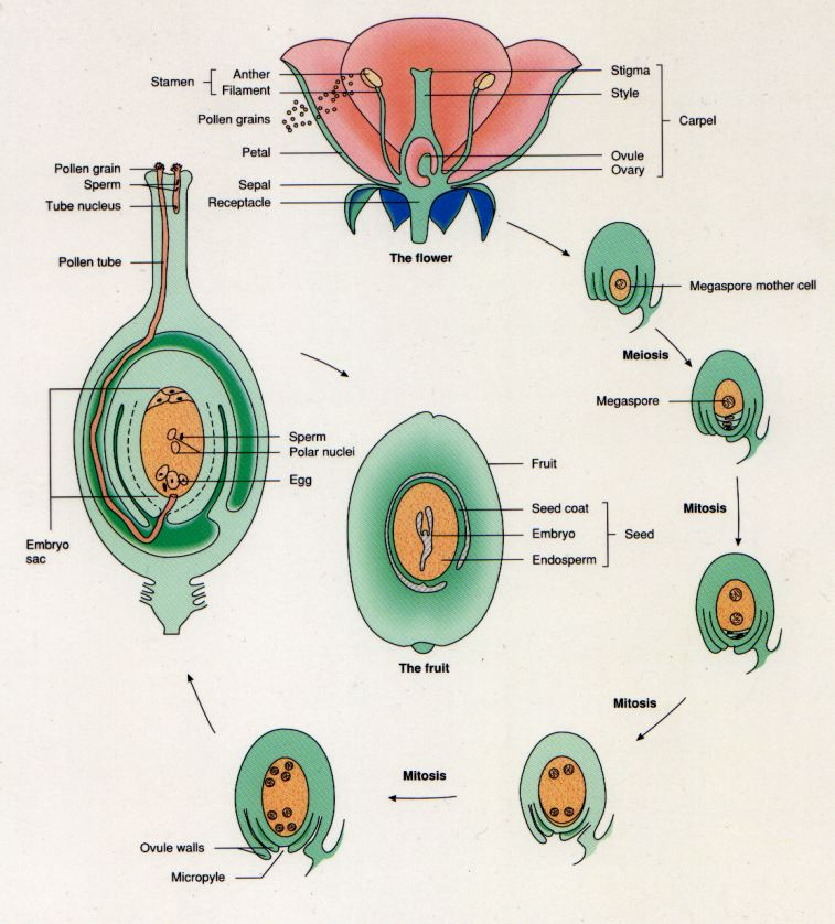 sexual reproduction in flower Short essay on sexual reproduction in flowering plants tabasum  we will now describe the various parts of a flower including the sexual reproductive organs.