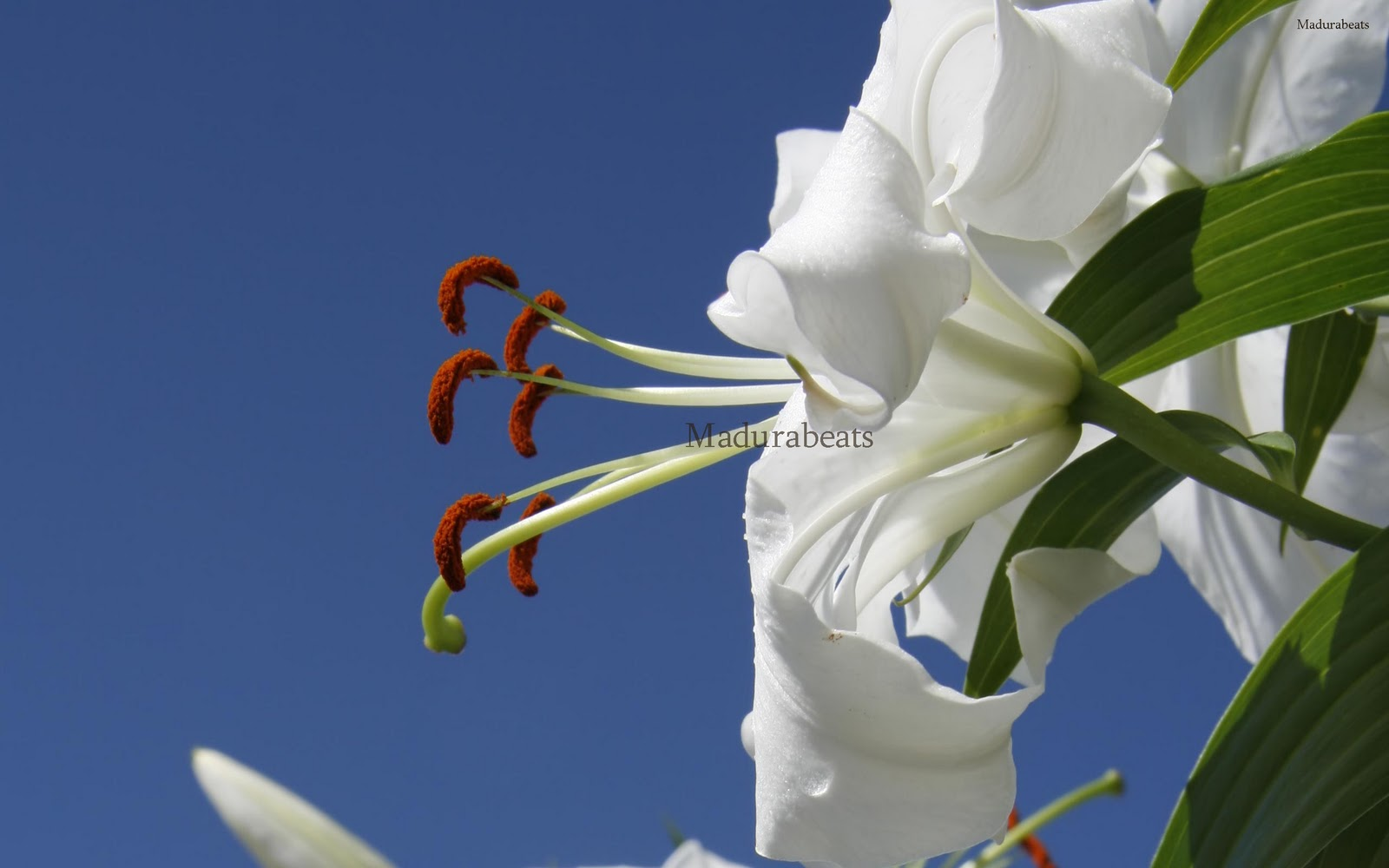 Flower images, Wide screen wallpapers,fresh flowers,Beautiful flowers,Belladonna_lily_White_Flower_with_sky_hd_wallpaper