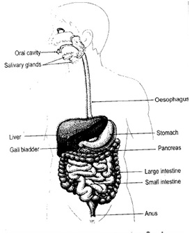 Diagram Of Digestive System Of Human Being on key card wiring diagram