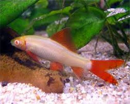 Tropical freshwater fish species albino red fin shark for Freshwater aquarium fish guide