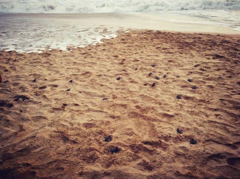 Penyu-penyu kecil merangkak menuju laut lepas
