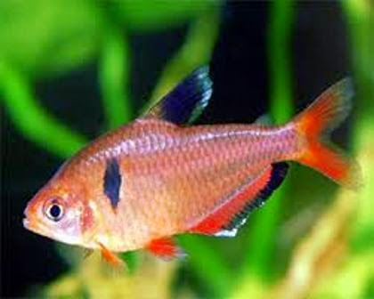 Small Freshwater Fish The Serpae Tetra Freshwater Fish