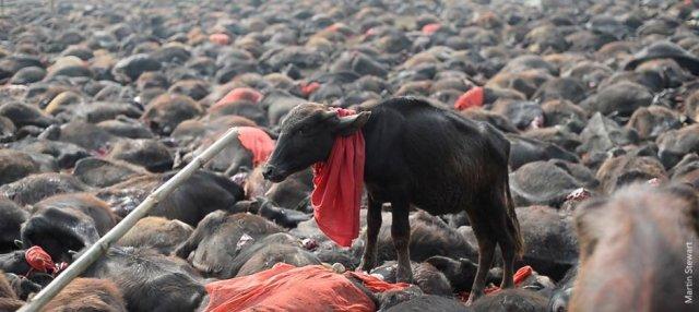 animal sacrifice event in nepal
