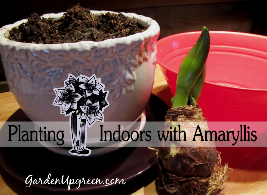 Planting Amaryllis Indoors, shared by Garden Up Green