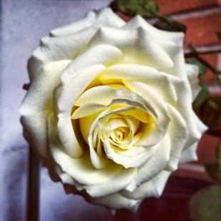 La mia rosa gialla