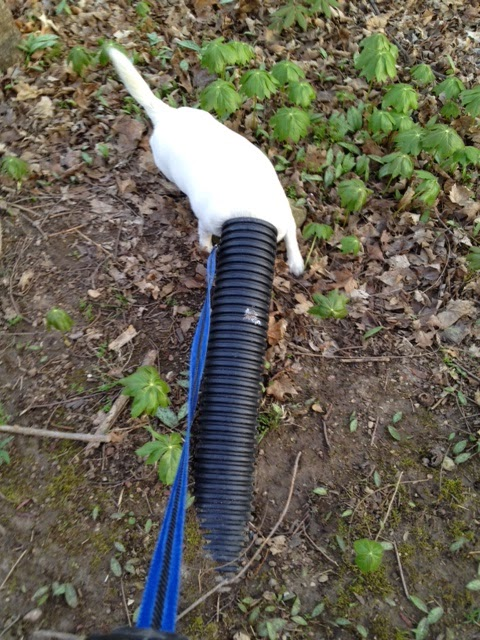 jack russell with head up black drainage tube