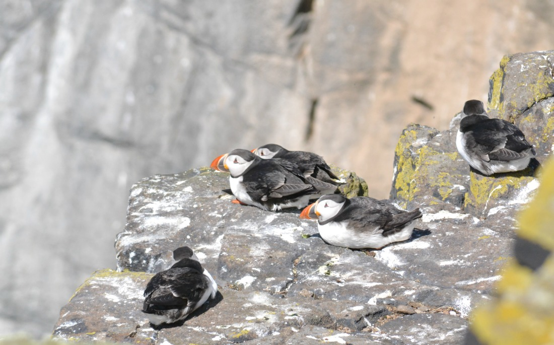 party puffins cliff isle of may