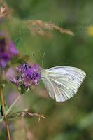 photo papillon blanc piéride de l'aubépine sur fleur violette