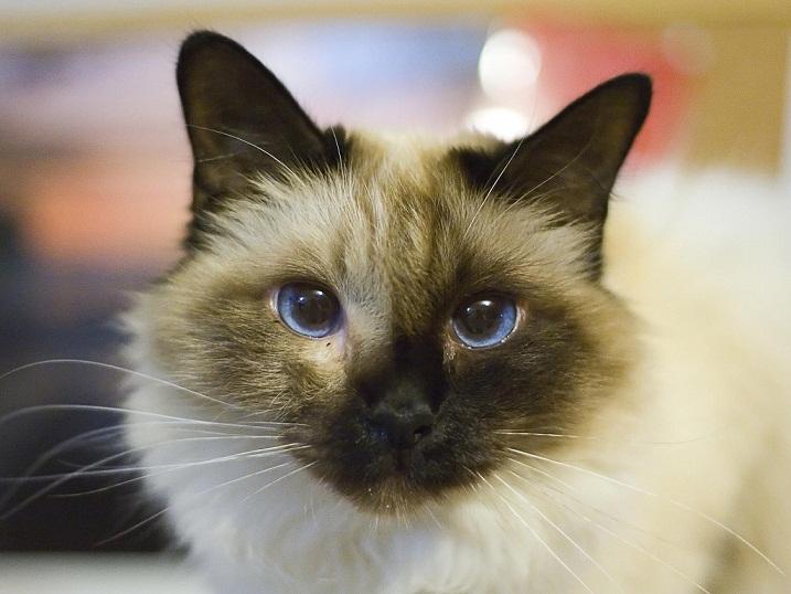 birman kitten pictures - photo #33