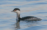 Winter plumage Horned Grebe