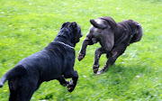 Neapolitan Mastiff temperament ? To be honest, this is not a breed for .