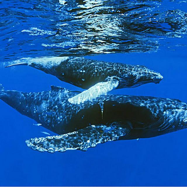 foto ikan paus