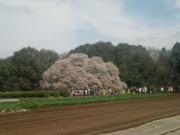 吉高の大桜(千葉県印旛郡)