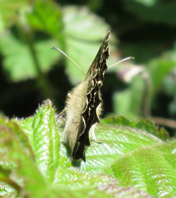 Speckled Wood Butterfly (Pararge aegeria) from behind.
