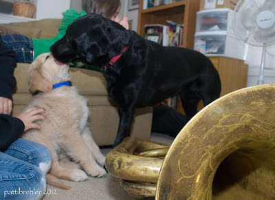 The black lab is licking the puppy's face as he sits behind the tuba, which is on the floor. The puppy's head is stretched back.
