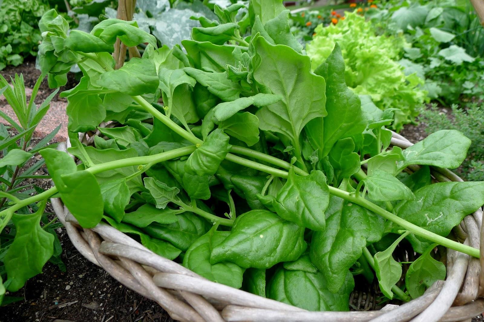 New Zealand Spinach recipe, urban farming