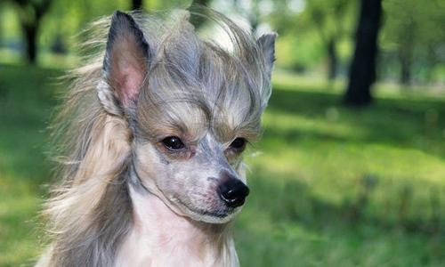 Ugliest Dog Breed Chinese Crested