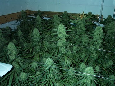 plantar maconha