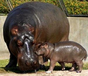 Hipopótamos del Parque de las Leyendas (Perú)