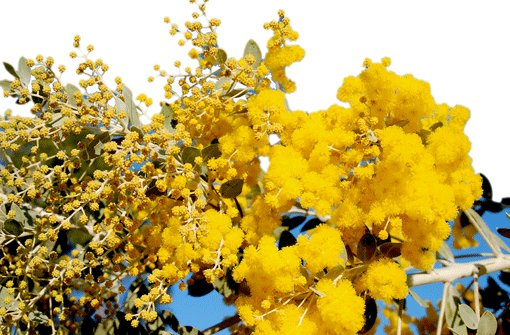 flavia rumira bonauer die mimose blume des monats flavia gabriela stark. Black Bedroom Furniture Sets. Home Design Ideas