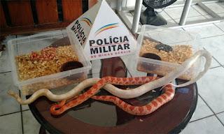 A cobra-do-milho é originária da América do Norte e não pode ser vendida no Brasil, segundo a PM