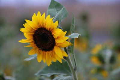 Flores - Sunflower - Girasol - De tournesol - Sonnenblume