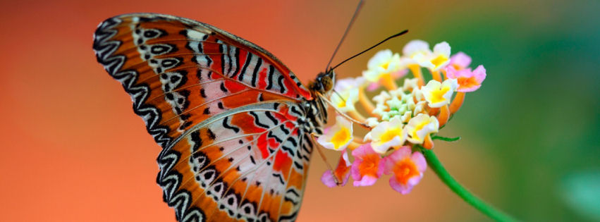 Butterfly on flower facebook cover
