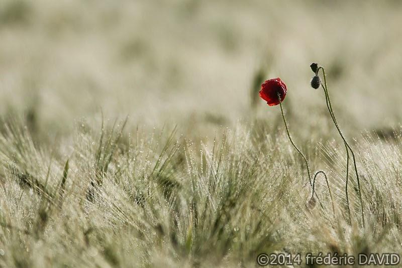 nature campagne matin champ coquelicot Essonne