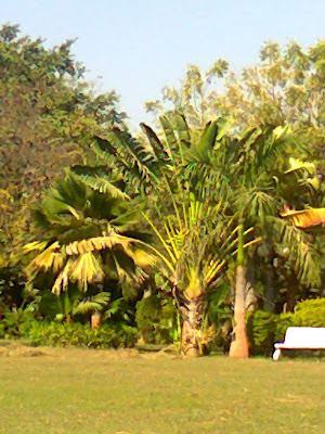 travellers palm plants ahmedabad garden